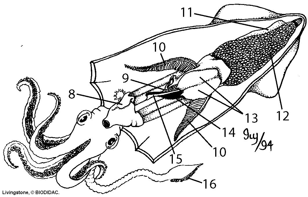 squid diagram labeled body parts