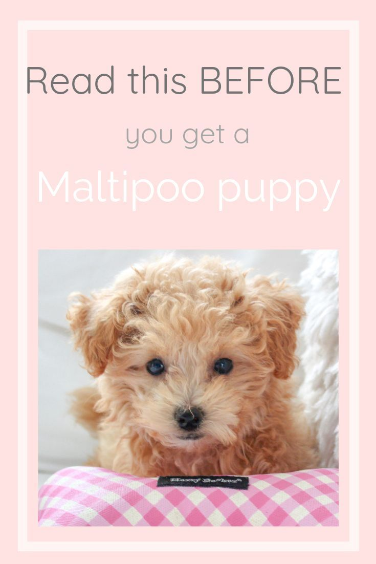Heres why you need a maltipoo puppy in 2020 maltipoo