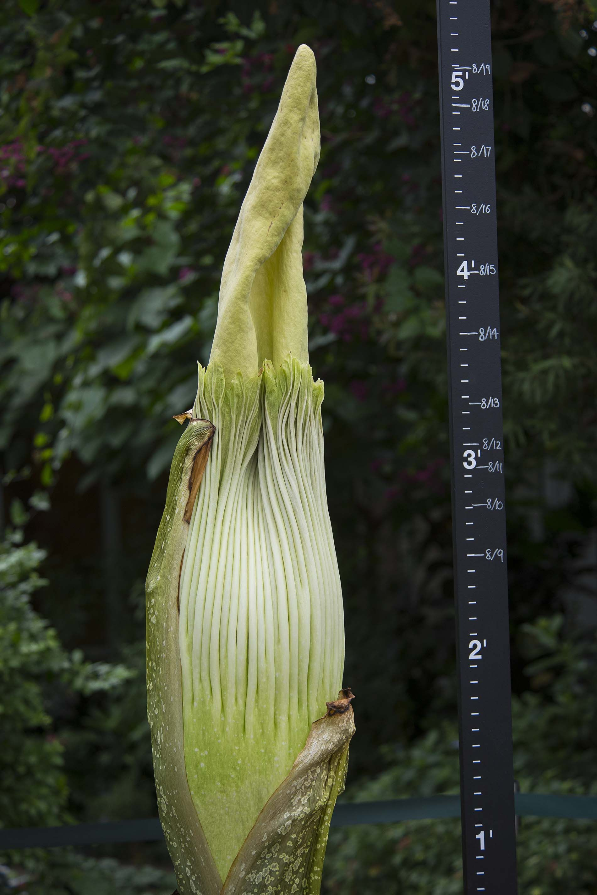 Spike Corpse Flower On August 19 2015 Fast Growing Plants Corpse Flower Titan Arum