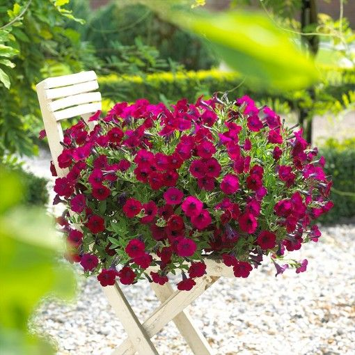 Surfinia Velvet Repens Plantas