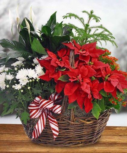 Poinsettia Green Plant Garden Basket Christmas Flowers Christmas Flower Arrangements Christmas Arrangements