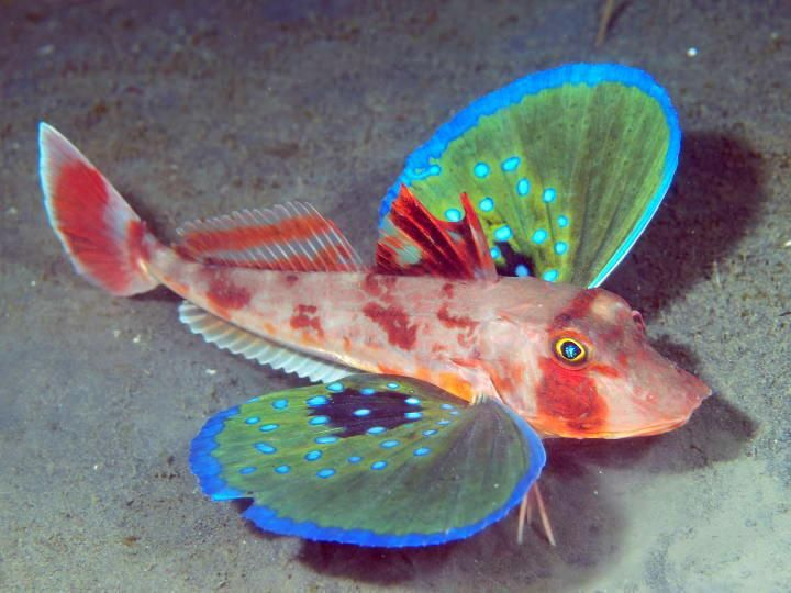 an odd looking fish this species is a bottom dweller they live on