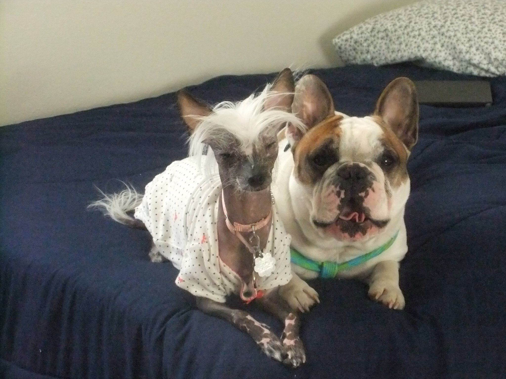 Hairless Chinese Crested Macy Grey And Bff French Bulldog Toad