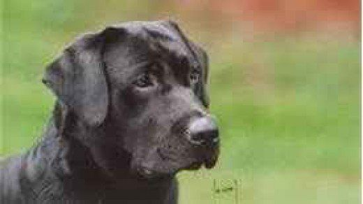 Do You Know The Difference Between English And American Labrador