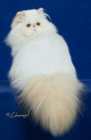 Persian Cats Photo Image By Shmi Gorgeous Cats Cute Cats Beautiful Cats