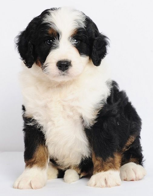 8 Weeks Old Mini Bernedoodle Puppy From Swissridge Kennels