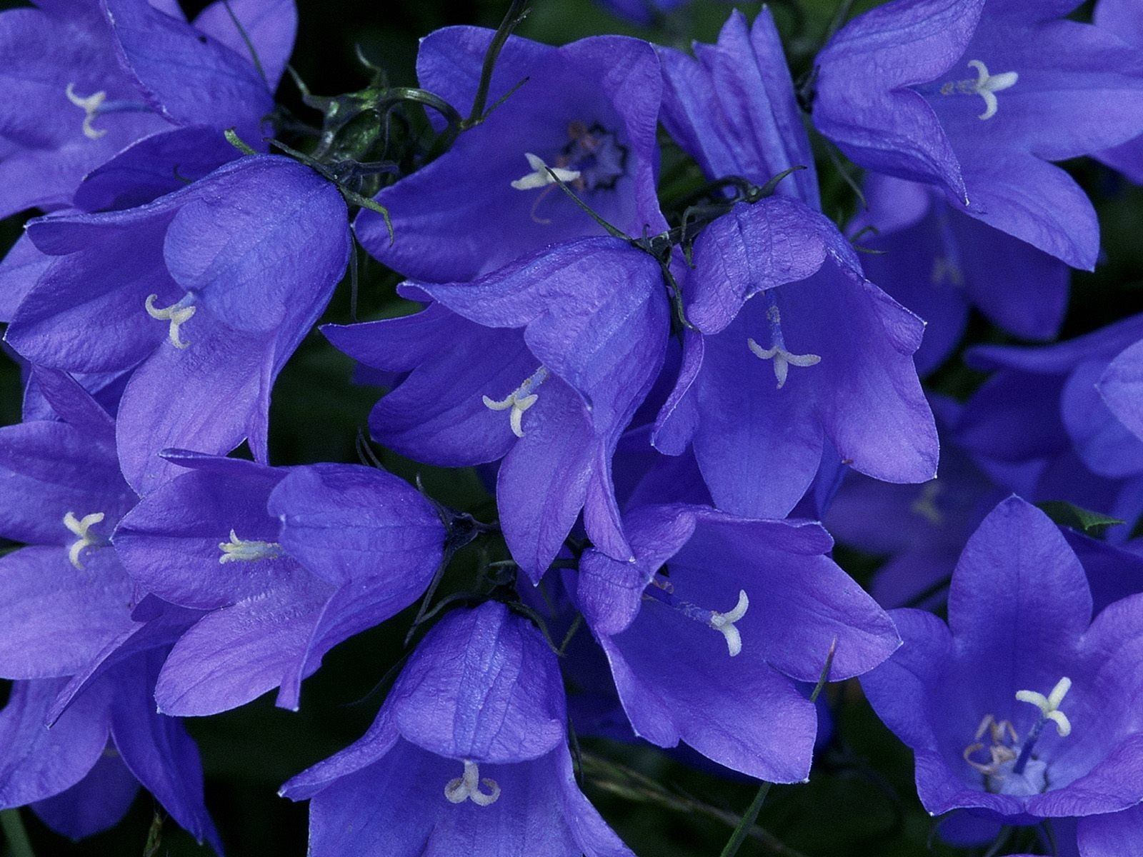 Campanula Kaemˈpaen Juːlə 2 Is One Of Several Genera In The Family Campanulaceae With The Common Name Be Purple Bell Flowers Blue Bell Flowers Flower Pictures