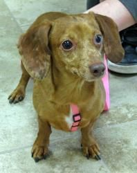 Dulce Is An Adoptable Dachshund Dog In Mansfield Massachusetts