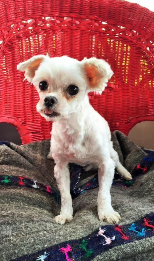 Adopt Penny On Maltese Dogs Pets Adoption