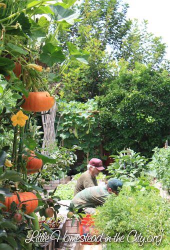 Pumpkins grown vertically on trellis