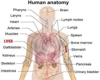 Next 20 human body parts in spanish whatiscalled medical next 20 human body parts in spanish whatiscalled ccuart Choice Image
