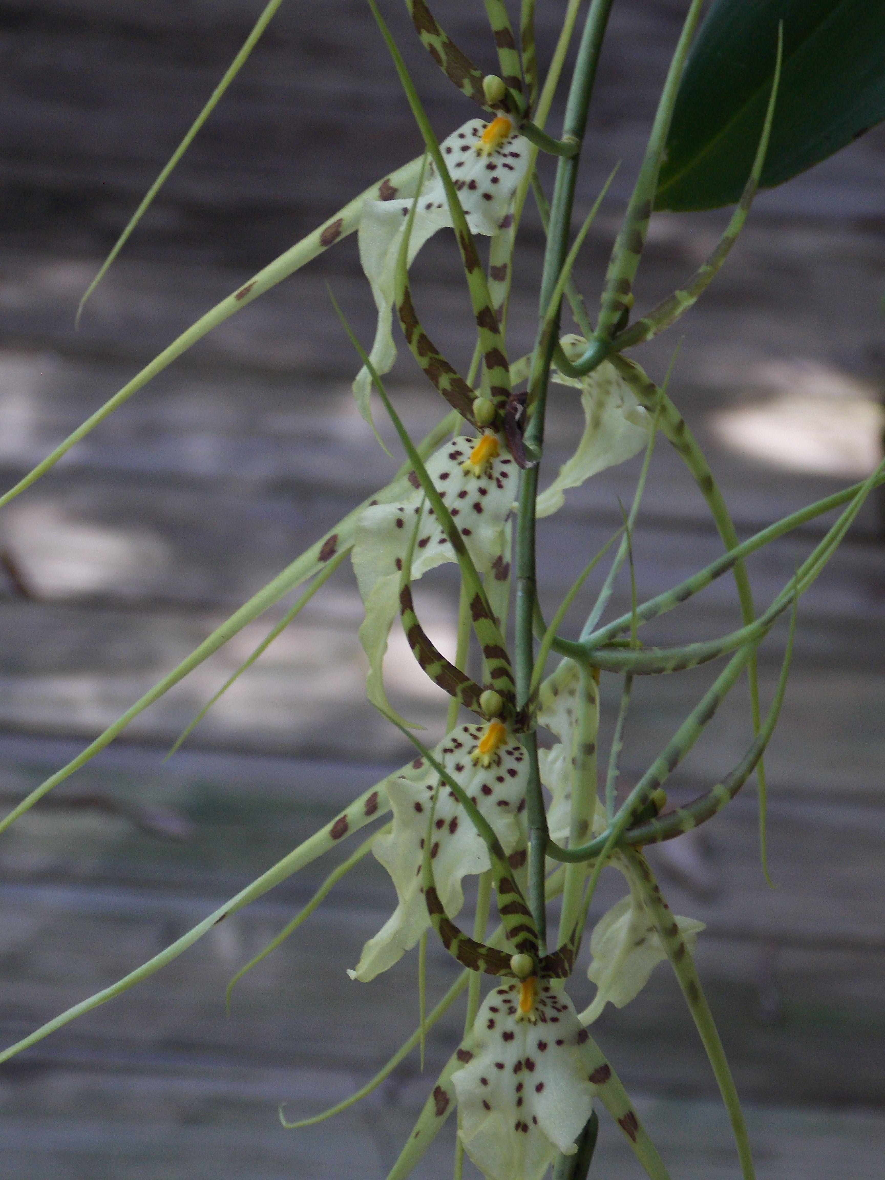 Spider orchids !