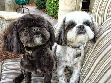Potty Training Shih Tzu Shih Tzu Shih Tzu Puppy Maltese Shih Tzu