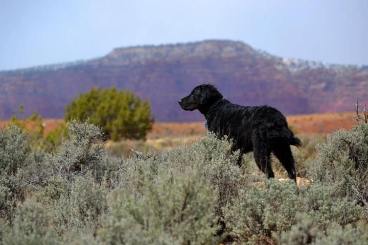 Best Leon Curly Coated Retriever At Grand Staircase National 640 x 480