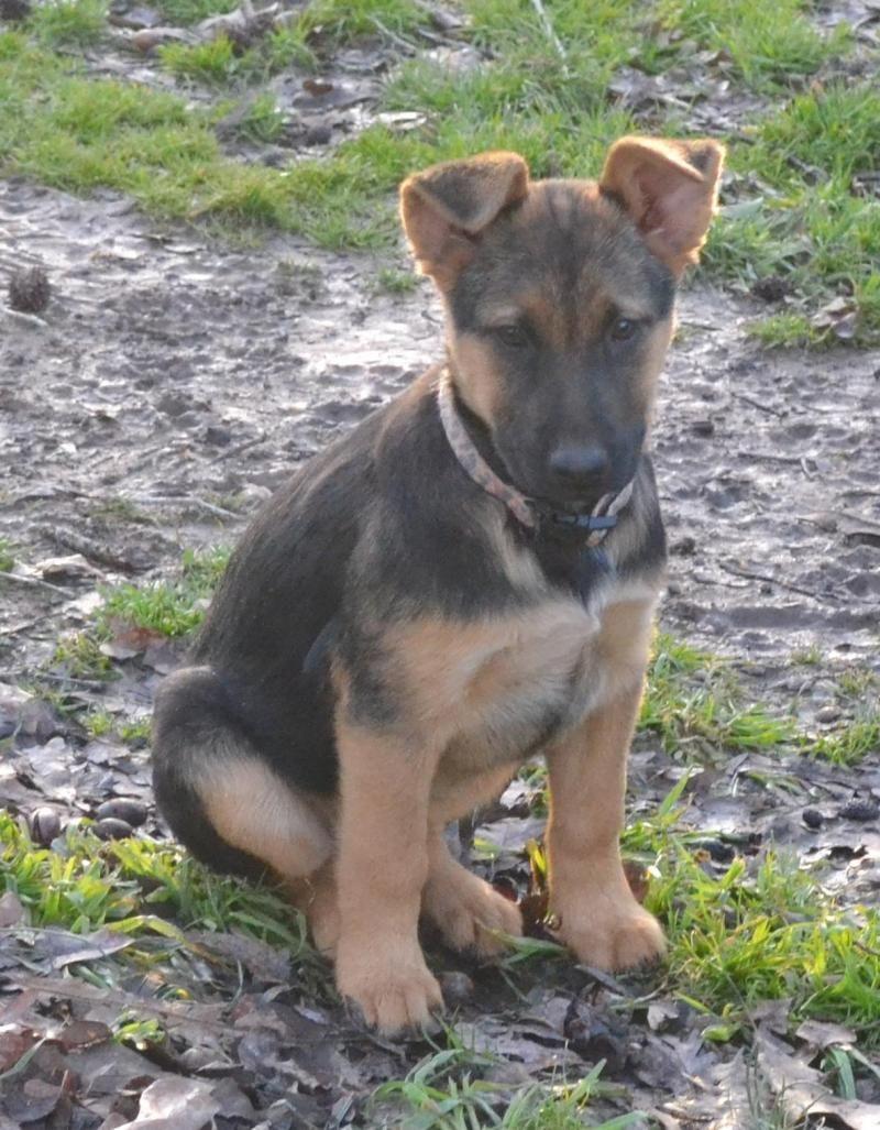 Adopt Sofie Pending On Shepherd Dog Mix German Shepherd Dogs Shepherd Dog