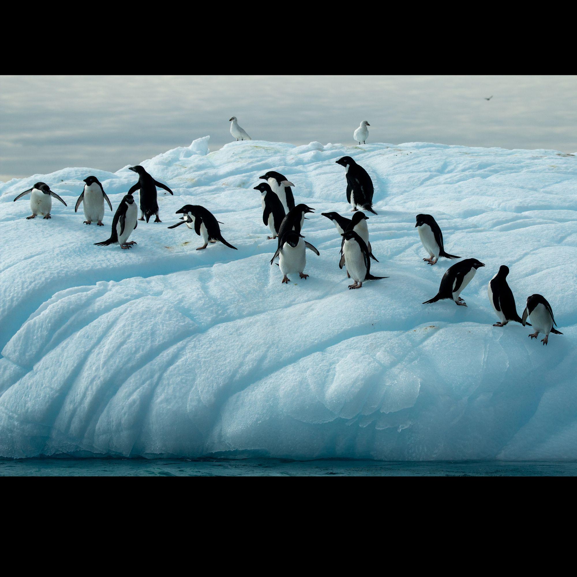 Adelies on an iceflow!!!!  . #challengeyourself #greenhillsentertainment #travelphotography #dennisgreenhillphotography #nationalgeographic #lindbladexpeditions #artandsoul #expeditionphotography #saveourplanet #instabirds #yourshotphotographer #penguins #adelie #wildlifephotography #antarctica #iceberg #zodiacboats #expeditiontravel