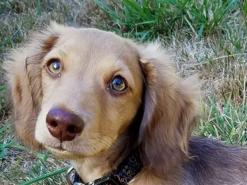 Elwyn. AKC longhaired miniature dachshund. Dachshund
