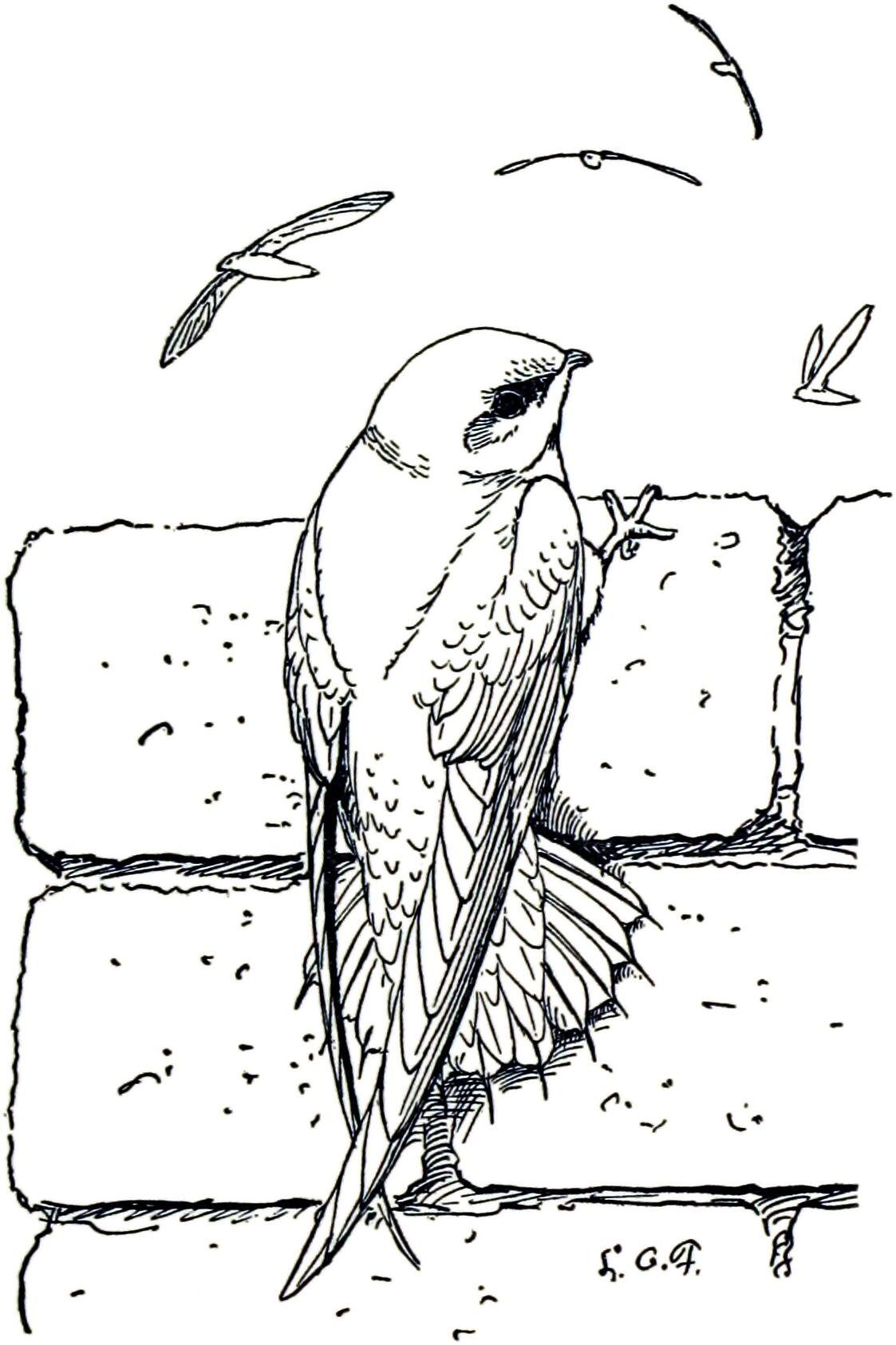 bird coloring chimney swift Google Search Swift bird
