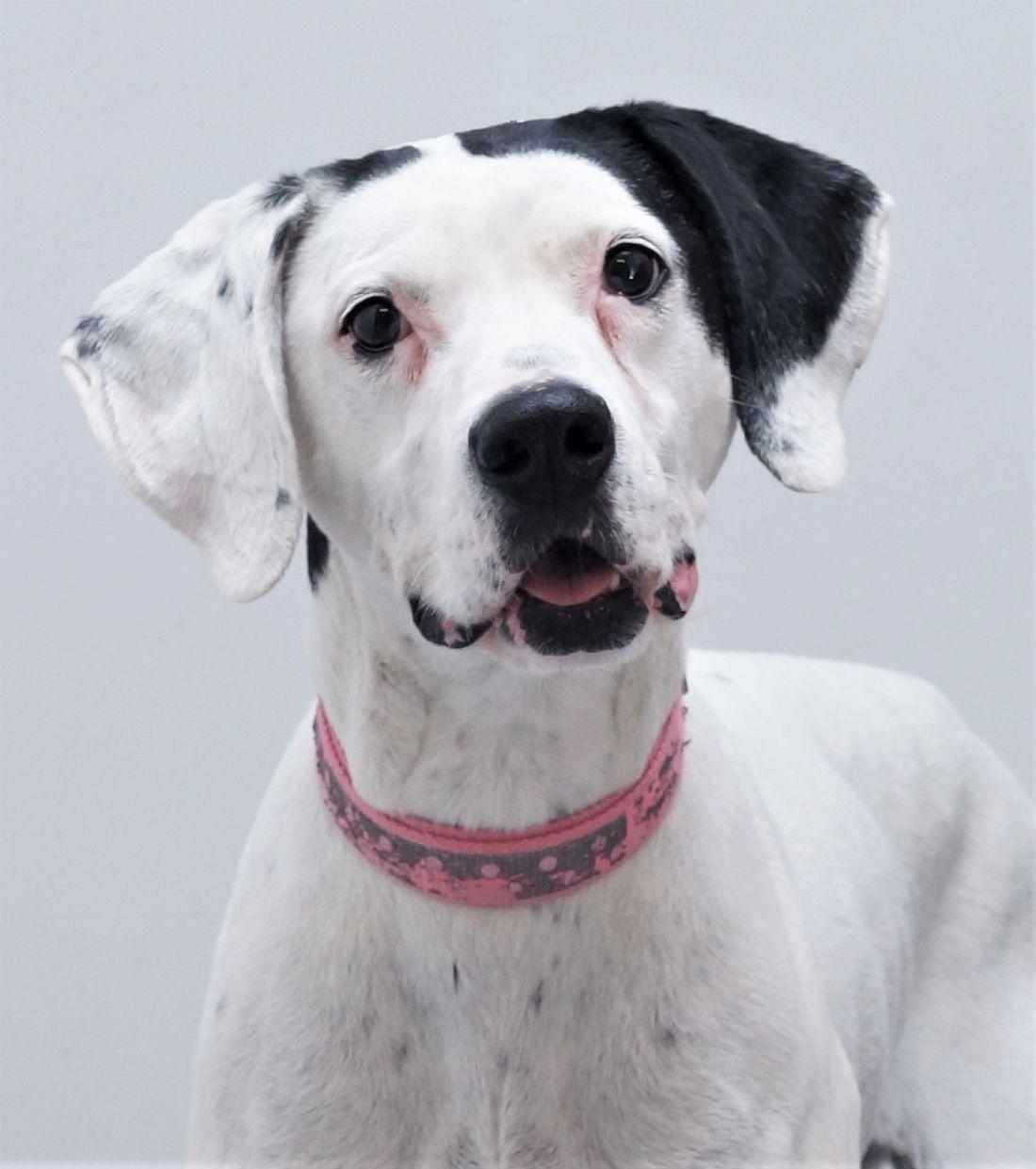 Adopt Lacey On Dalmatian Mix Dog Adoption Homeless Pets