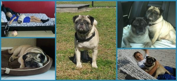 The Compassionate Pug Rescue Looking To Adopt A Pug In South