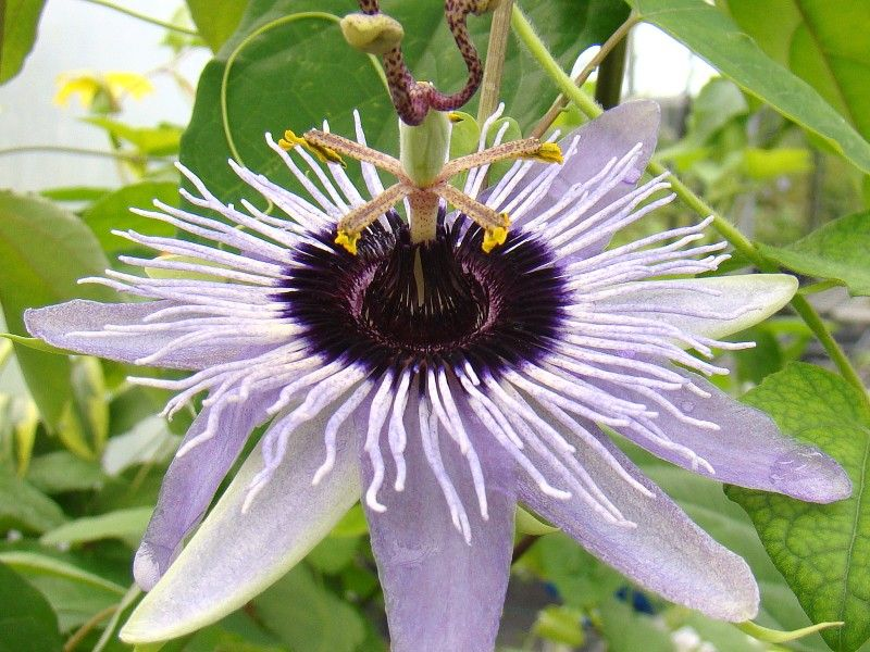 Passiflora Blue Bouquet Brushwood Nursery 15 Zone 9 11 10 30 Passion Flower Passiflora Blue Bouquet