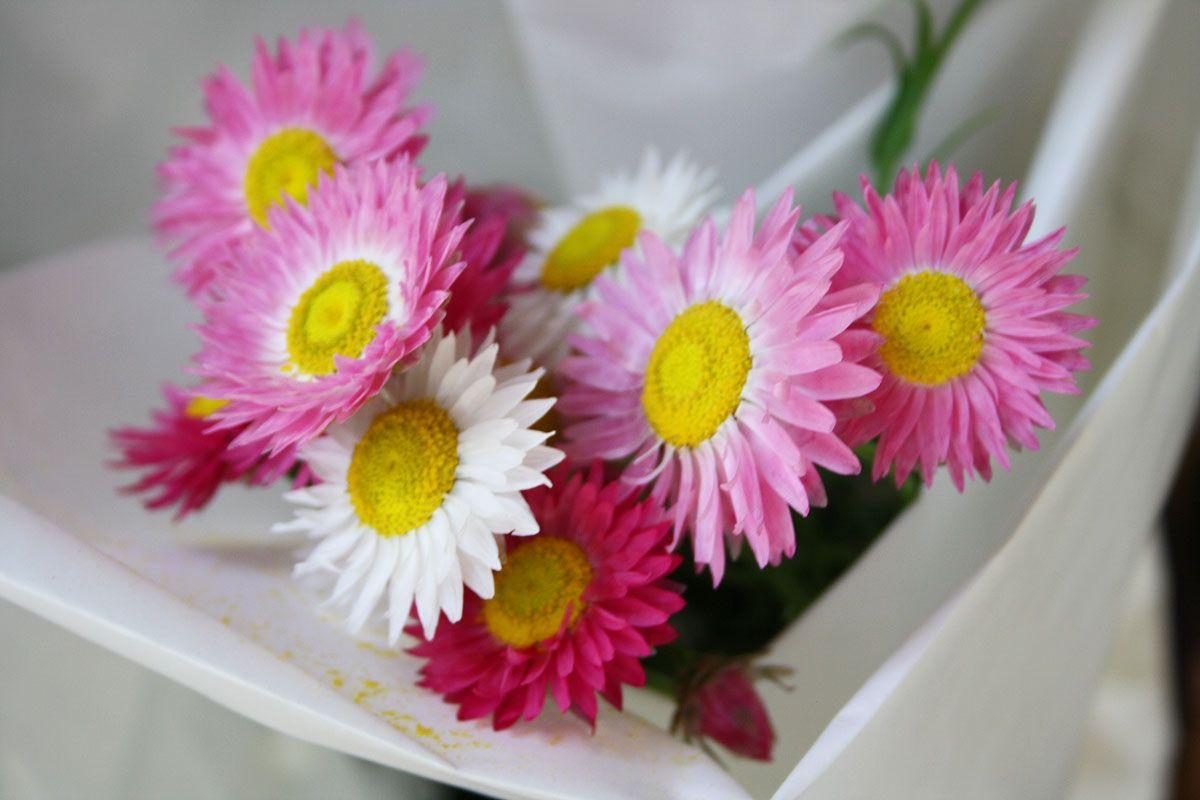 rosa und weiße Margeriten aus dem Blumengeschäft in