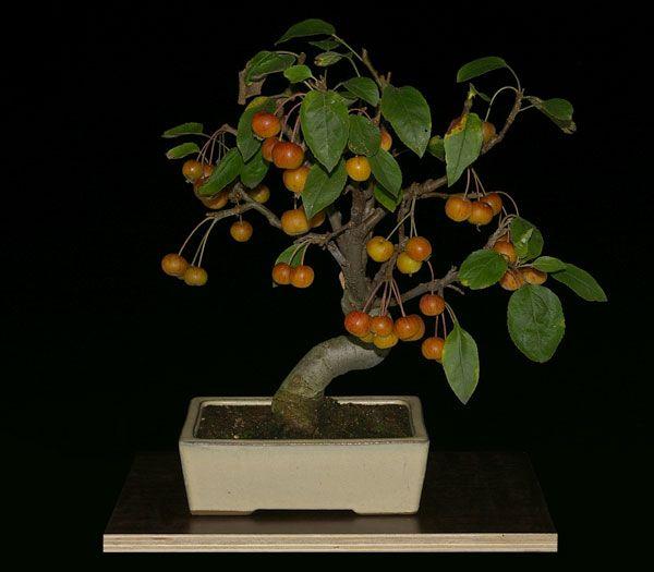 malus 39 evereste 39 bonsai bonsai pinterest bonsai baum. Black Bedroom Furniture Sets. Home Design Ideas