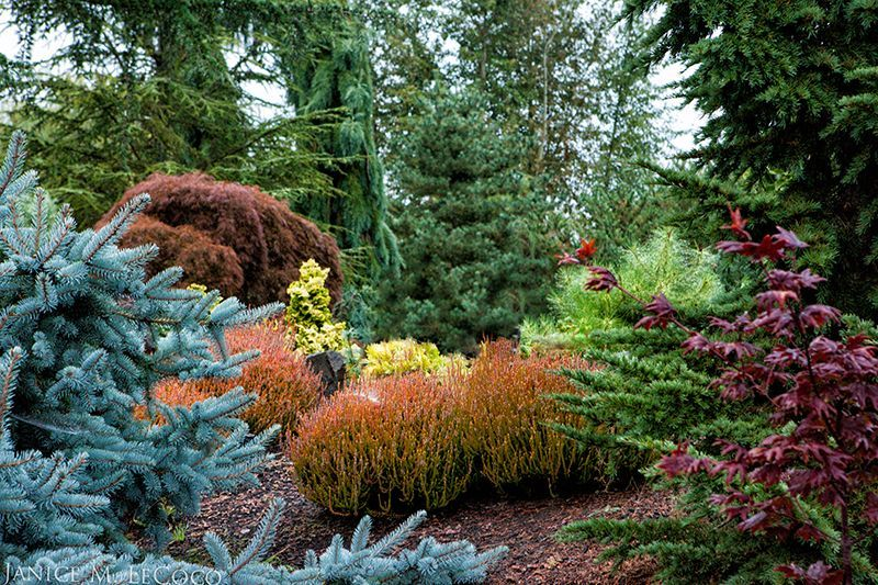 conifers and colored foliage at the oregon garden
