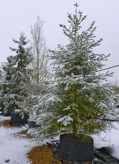 3-4m feathered Picea abies, complete with festive snow. Norway Spruce - the Christmas  Tree - 3-4m Feathered Picea Abies, Complete With Festive Snow. Norway
