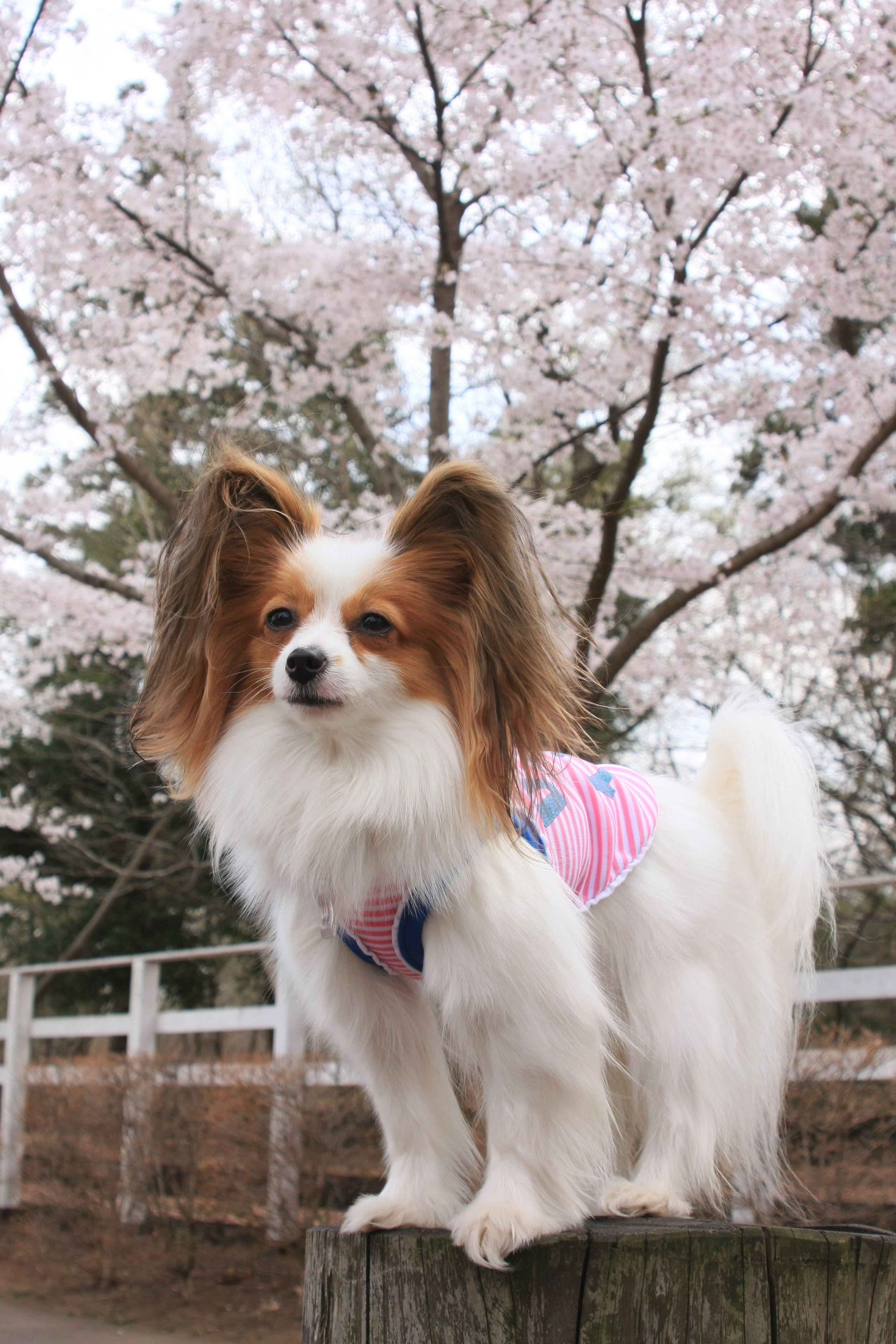 Papillon dog art portraits, photographs, information and