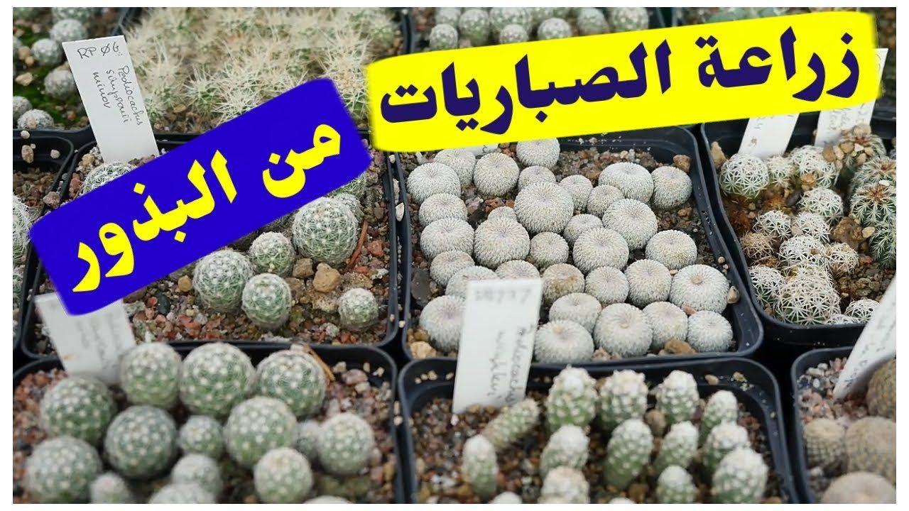 زراعة الصباريات من البذور How To Grow Cactus From Seed Https Youtu Be Ro19qkzwbgq How To Grow Cactus Seeds Cactus