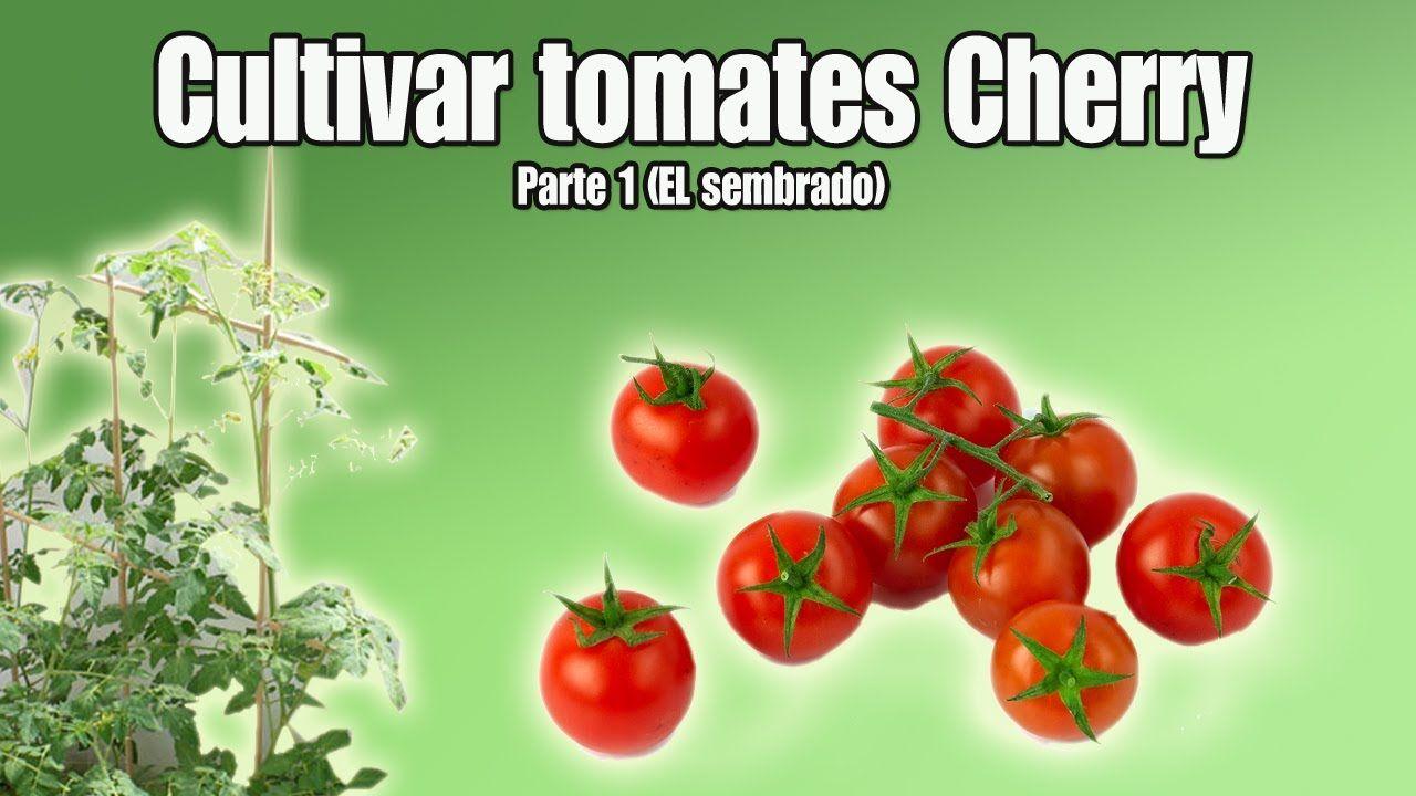 Cultivo Del Tomate Cherry Sembrar Tomates Cherry Parte 1  ~ Como Cultivar Tomates En El Huerto