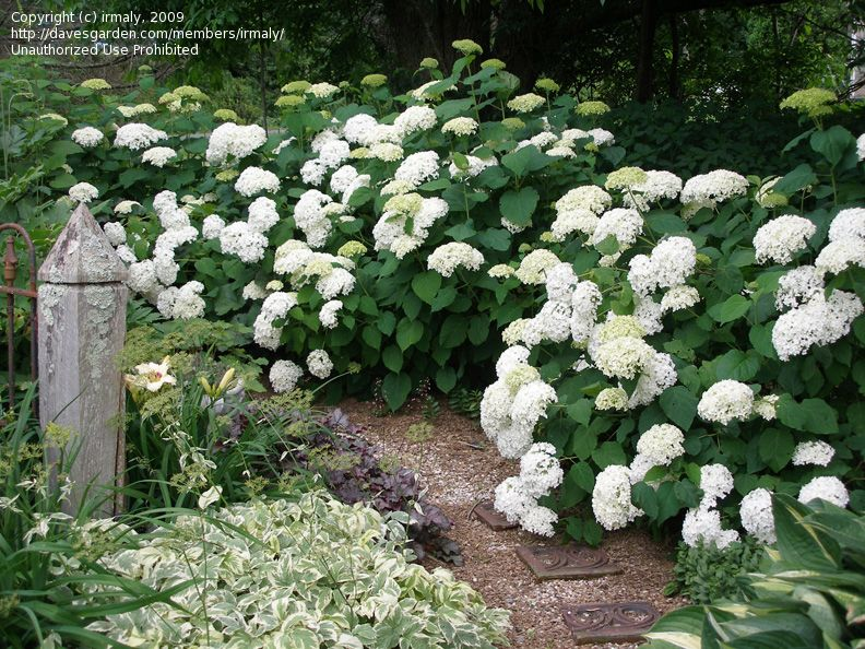 Hydrangea annabelle for garage border to replace yews for Annabelle hydrangea