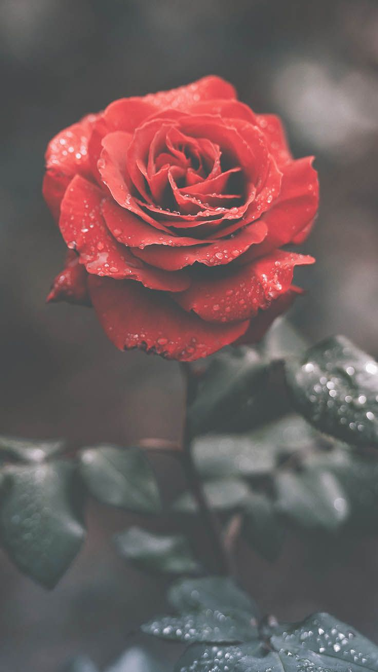29 Romantic Roses iPhone X Wallpapers Rose wallpaper