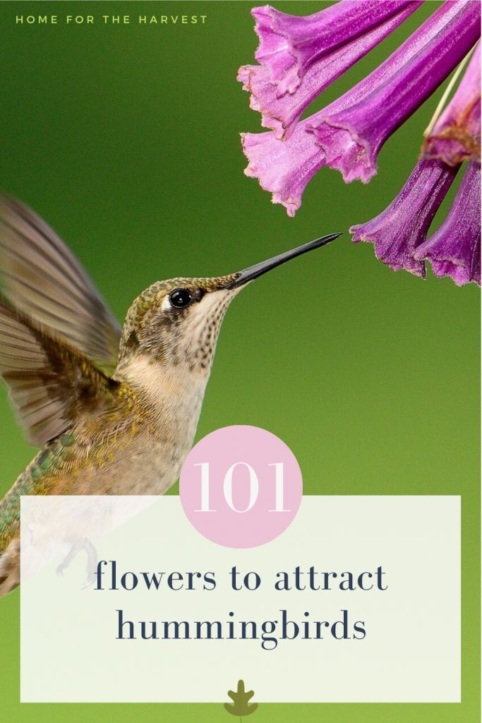 Hummingbirds LOVE certain flowers! Here's 101 Hummingbird Flowers to Attract Pollinating Birds to Your Garden - Home for the Harvest - Pollinator Flower Gardening #pollinatorgarden #hummingbirds #flowergarden
