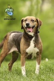 Lucky Is A 5 Year Old Beagle Mix Available For Adoption At Young