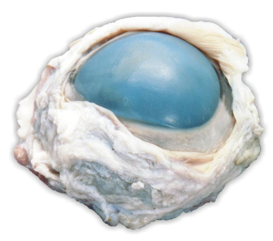 Cow Eye Dissection Guide with Pictures of Eye Anatomy | Cross wired ...
