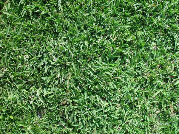 The Best Drought Tolerant Grasses For Homeowners With Images Zoysia Grass Drought Tolerant Grass Mondo Grass