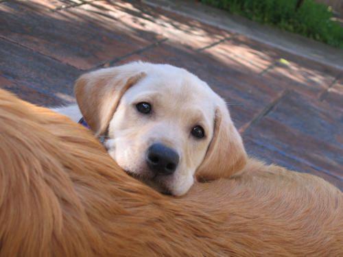 yellow lab pup