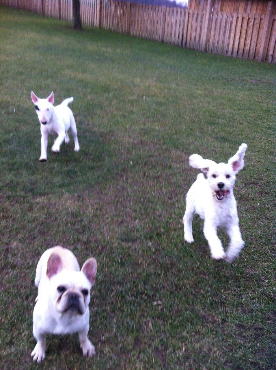 Fun At Cj S Dogs Pets French Bulldog