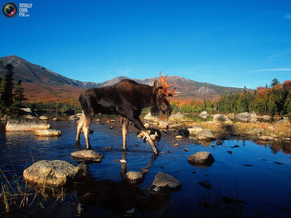 Moose crossing the river Incredible creatures, Moose