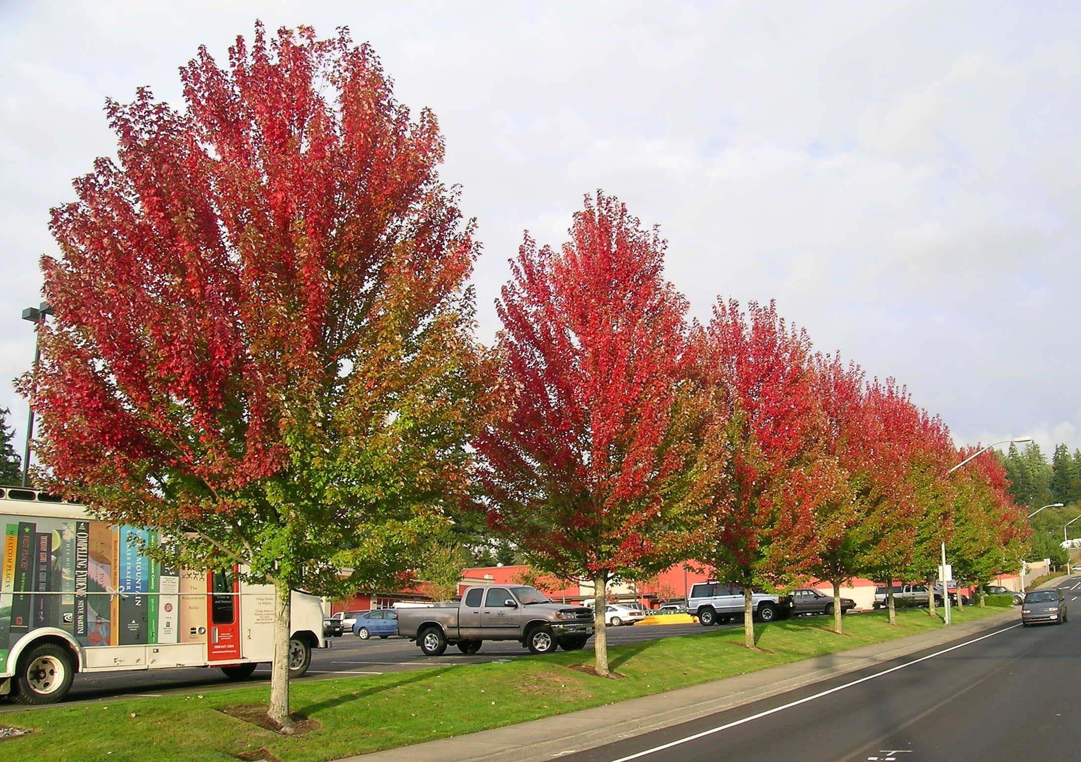 Autumn Blaze Maple Trees And Focal Points Autumn Blaze Maple