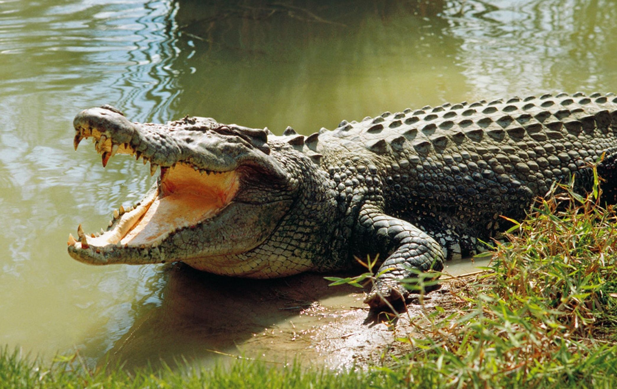 What do crocodiles dream about: interpretations 48