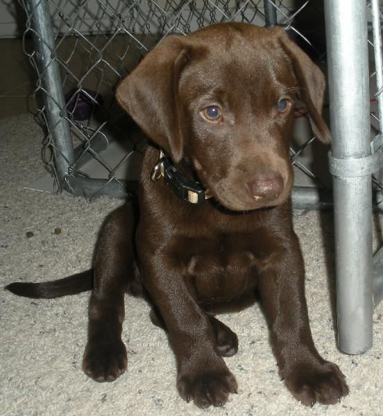 Found Chocolate Lab Puppy Houston Spca Chocolate Lab Puppies Chocolate Lab Puppies