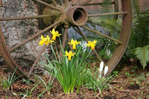 Fresh Daffodils Sprouting beside an Old Wagon Wheel