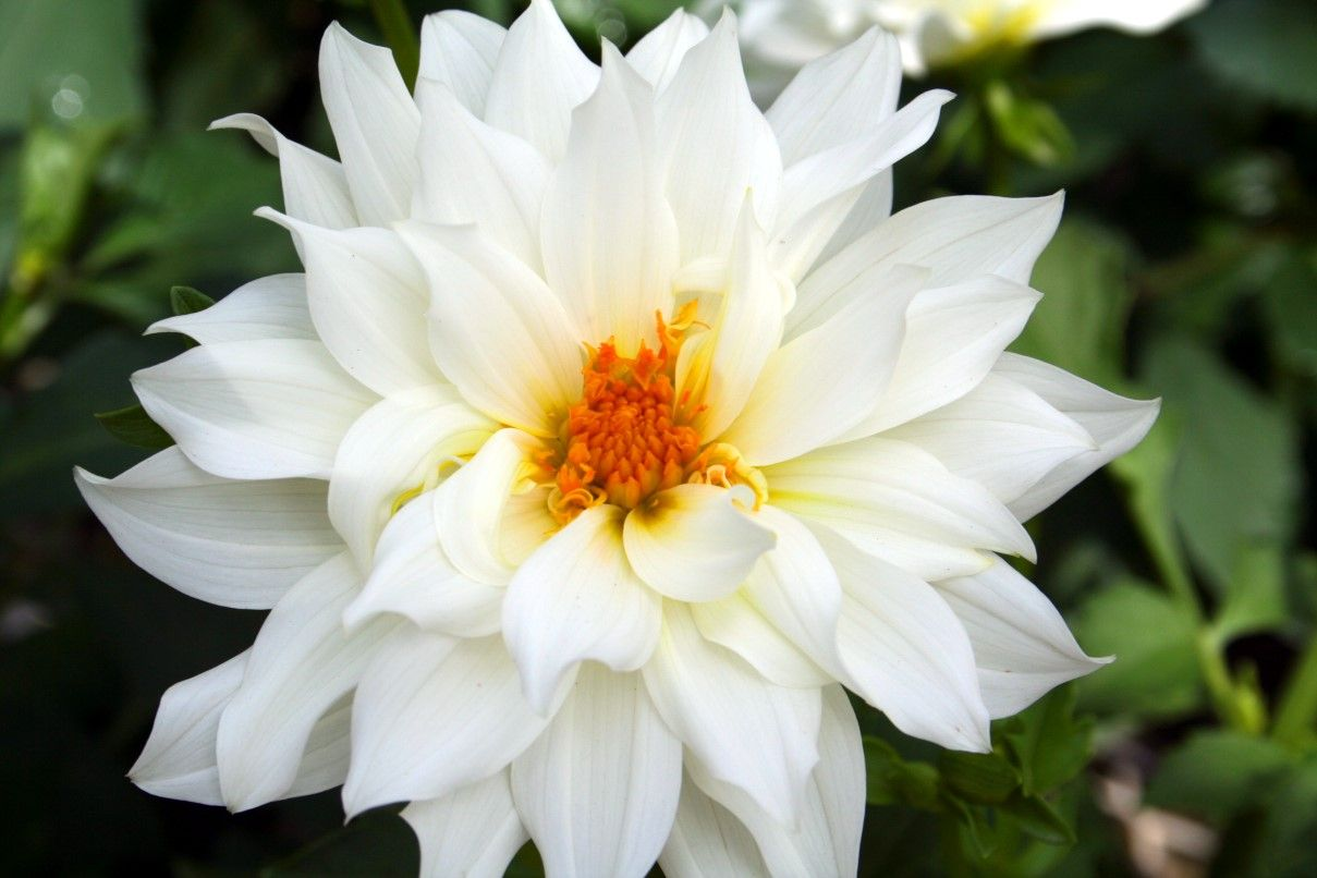 Flower white flower flower pinterest white flowers beautiful flowers picture of white flowers dhlflorist Images
