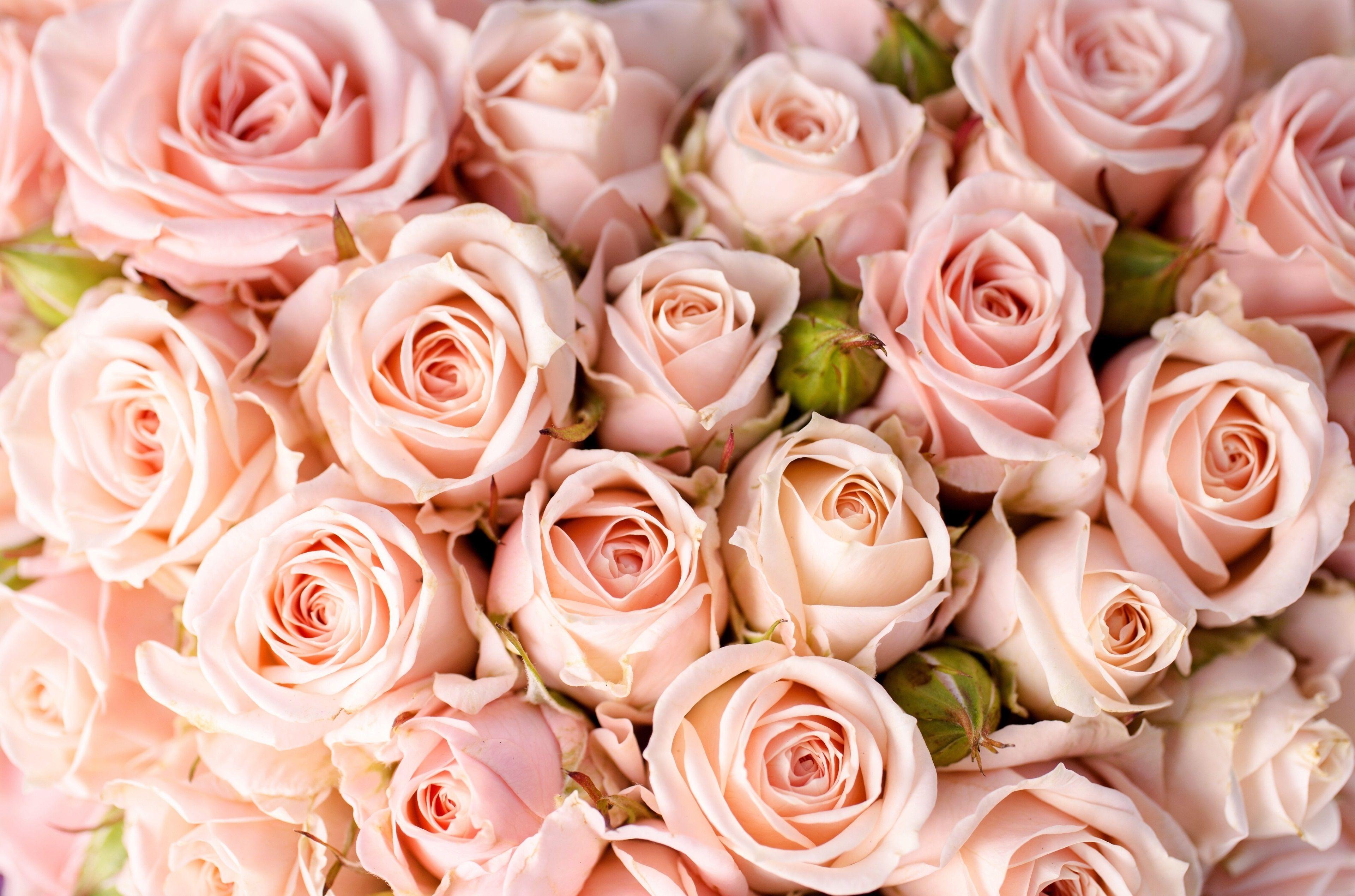 3840x2539 Roses 4k Hd High Resolution Wallpaper Rose Flower Wallpaper Pink Roses Background Pink Rose Flower