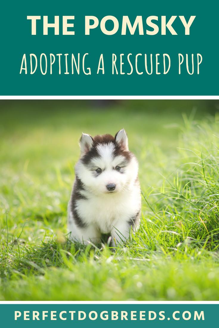 Pomsky Rescue In 2020 Pomsky Designer Dogs Breeds