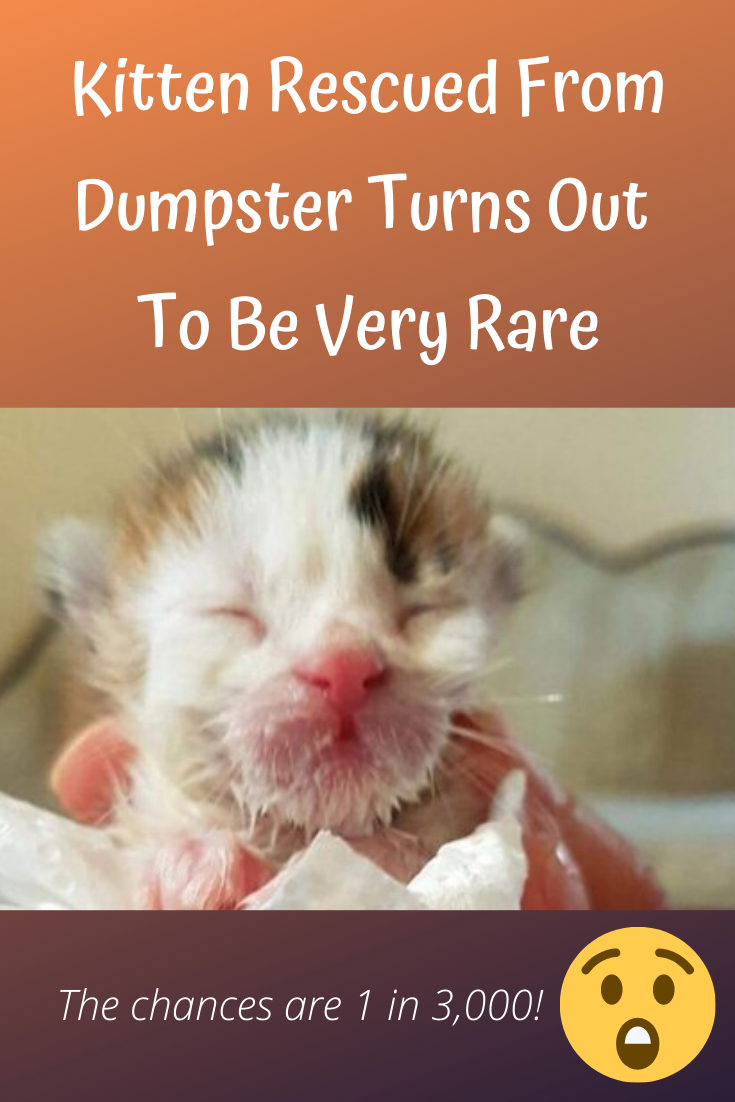 One Week Old Kitten Is Rescued From Dumpster Then Rescuer Realizes Cat Is Incredibly Rare In 2020 Kitten Rescue Kitten Calico Kitten