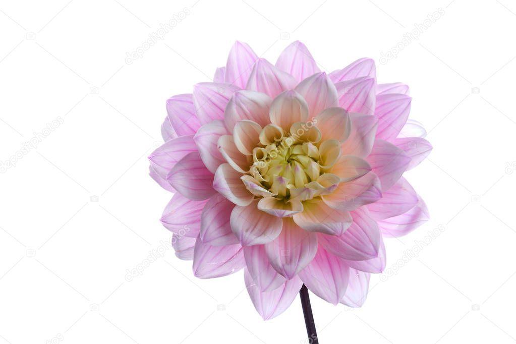Beautiful Purple Dahlia Flower Head Isolated White Background Stock Pho Ad Flower Head Dahlia Beautiful Ad In 2020